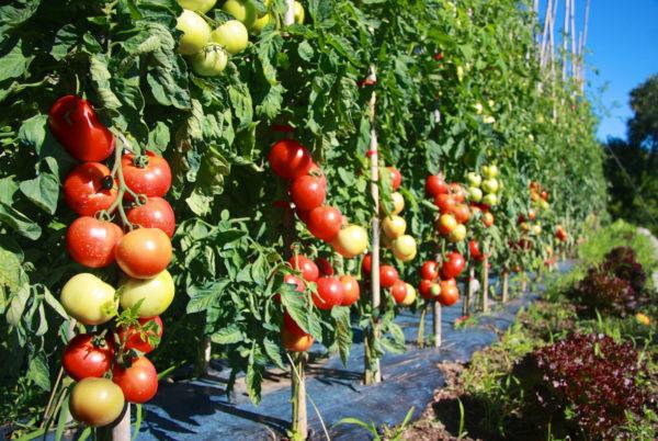 Quelques tomates dans le potager cévenol de notre hôtel restaurant d'Anduze