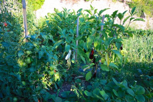 Dans notre potager, quelques courgettes et tomates