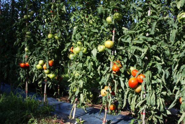 Quelques tomates, sous le soleil de nos Cévennes, dans le potager de votre hôtel restaurant d'Anduze