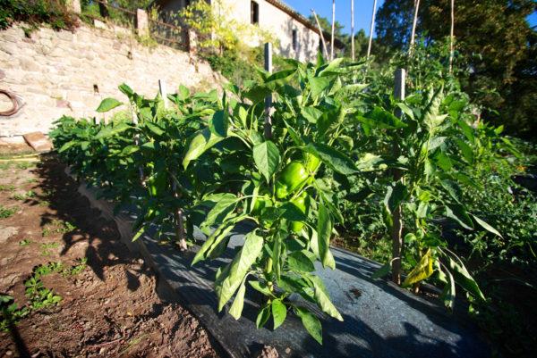Dans notre potager cévenol d'Anduze, quelques poivrons